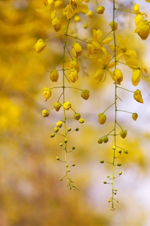 Golden Shower Tree flowers in the garden