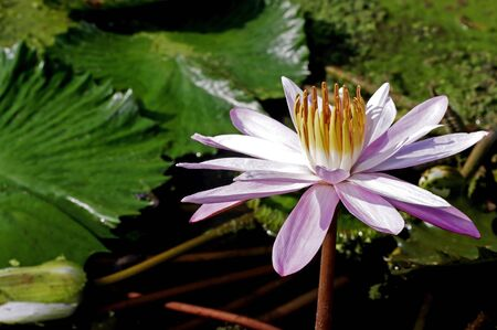 light pink lotus flower in the pond