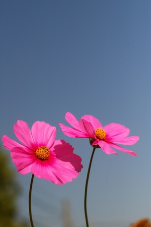 two cosmos flowers and the blue sky