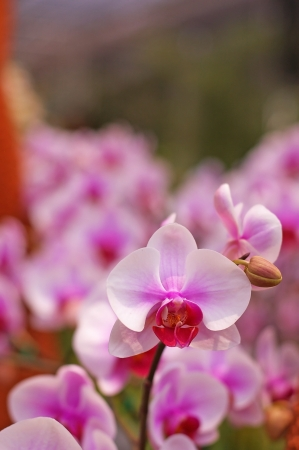 pink moth orchid flowers in the garden photo