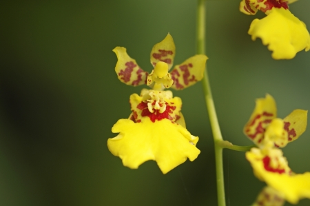 Oncidium orchid flowers in the botanical garden Stock Photo