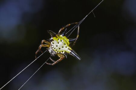 arachnids: a star spider is climbing on the web