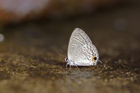 gram: gram blue butterfly is drinking a water on the floor Stock Photo