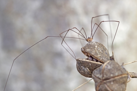 daddy long legs spider is staying on the plant seed