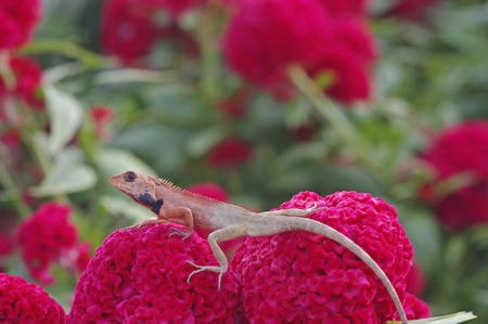 chordata: lizard is staying on the red Cockscomb flower