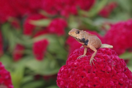 lizard is staying on the red Cockscomb flower photo