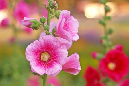 pink hollyhock flower in the garden Stock Photo