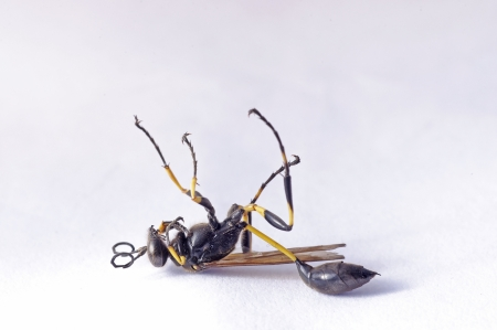 Death body of the Solitary Wasps on the isolated background photo