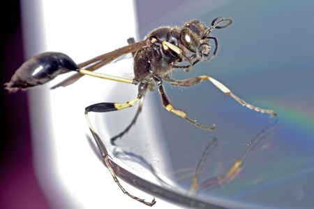 cd rom: Solitary Wasps on the CD rom