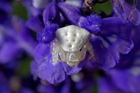 flower spider: flower spider ambush in violet lavender flower