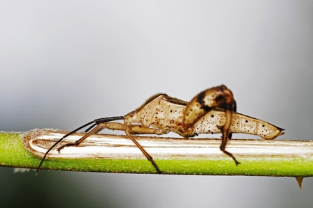 squash bug: Squash bug is staying on the tree branch Stock Photo