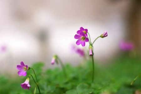 lady s: Creeping acedera flor de la se�ora s en el jard�n verde