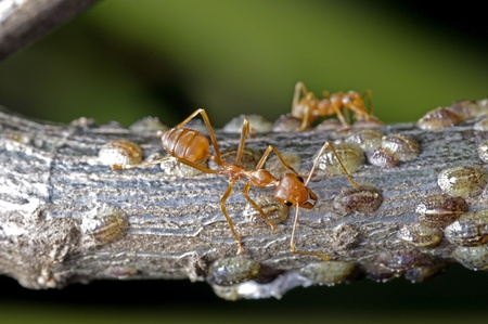 mutualism: weaver ants are taking care a group of scale insects