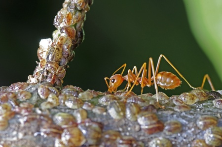 mutualism: a weaver ant receive a food from group of scale insects