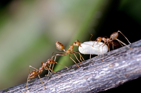weaver ants are moving their egg