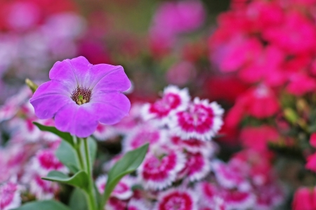 violet petunia flower with the carnation flowers background Stock Photo
