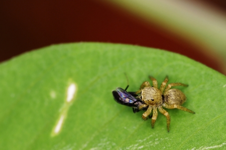 jumping spider: jumping spider is catching the prey