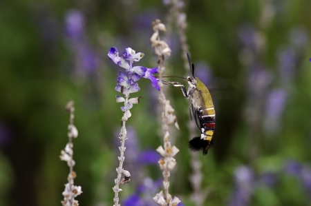 pellucid: Pellucid Hawk Moth est� chupando el n�ctar de las flores de lavanda