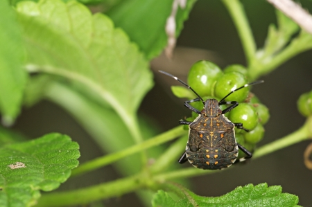 squash bug: squash bug larva is staying on the tropical plant
