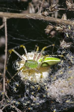 the offspring: ara�a verde lince est� quedando con su joven descendencia Foto de archivo