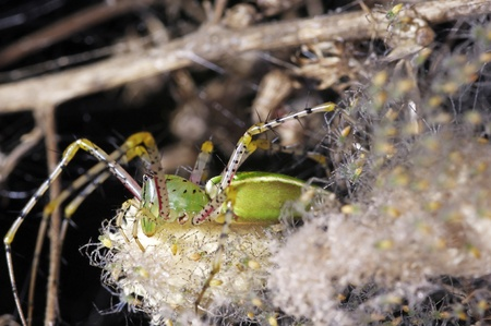 green lynx spider is staying on the egg mass