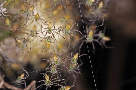 the offspring: descendientes de lince verde ara�a en la web