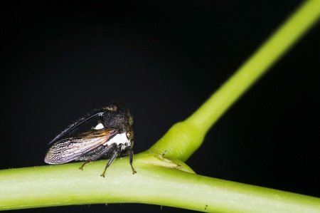 Thorn Mimic Treehopper is staying on the tree branch photo
