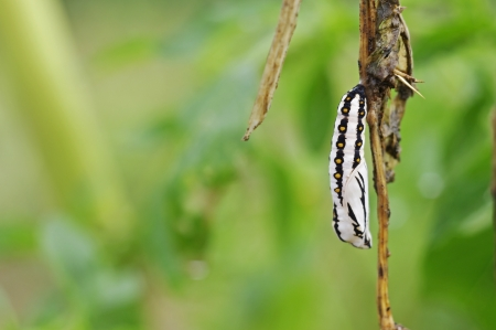to plant structure: pupa of butterfly is hanging on the plant structure Stock Photo