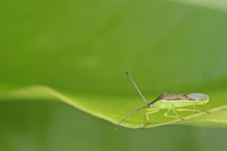 shield bug: Shield bug is staying on the green leaf