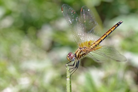 dropwing: female Crimson Dropwings dragonfly is staying on the plant tip