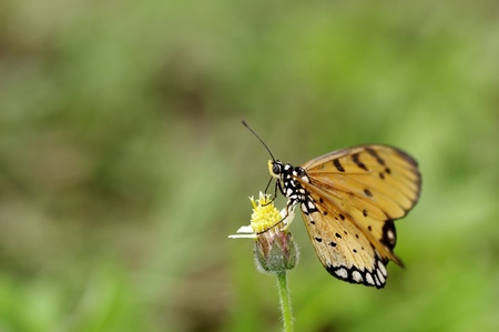 tawny: Tawny Coster butterfly on the flower