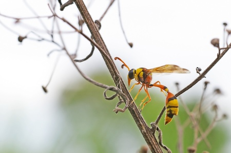 potter wasp is staying on the plant shoot photo