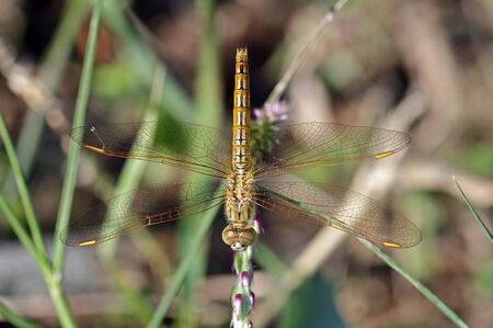 dorsal: Common Amberwing dragonfly in staying on the plant; dorsal view Stock Photo