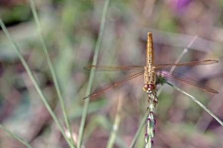 frontal view: Common Amberwing dragonfly in staying on the plant; frontal view