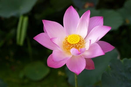 pink lotus flower in the water pool photo