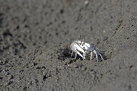 fiddler: Fiddler crab is staying on the mud in mangrove forest Stock Photo