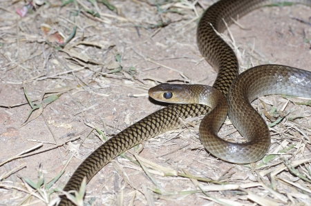 Indochinese rat snake is staying on the ground Stock Photo - 21423528