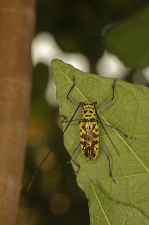longhorned: long-horned beetles is staying on the tree leaf, upper view