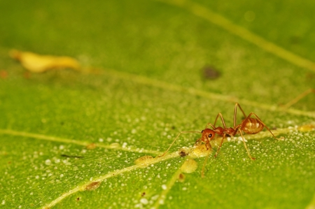 formicidae: weaver ant is looking for scale insects on the green leaf