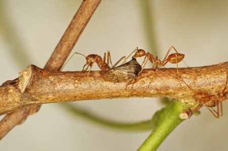 formicidae: weaver ants are taking care aphid
