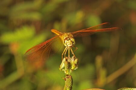 dragonfly is staying on the mimosa flower bud, front view
