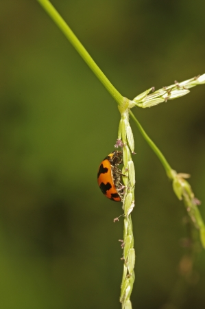 lady bird: lady bird is staying on the rice seed