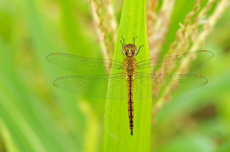 dragonfly is staying on the corn leaf
