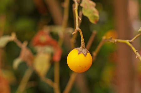 egg plant: yellow egg plant in the oriental garden Stock Photo