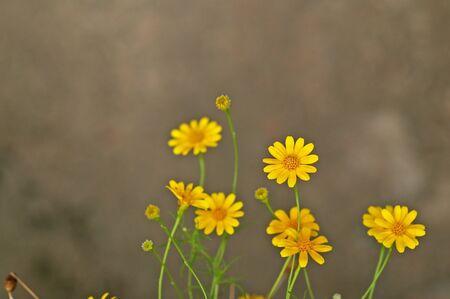 yellow daisy flowers in the garden