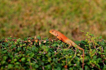 lizard is standing on the bush Stock Photo
