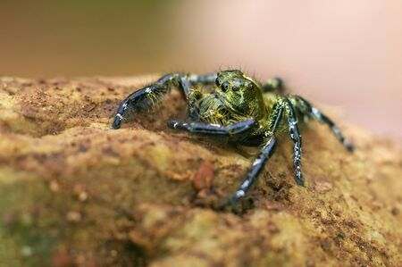 jumping spider is staying on the rock Stock Photo