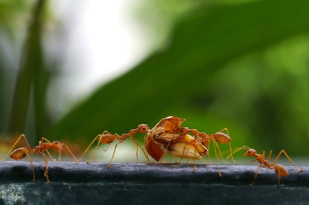 weaver ants are carrying the food on the iron bar