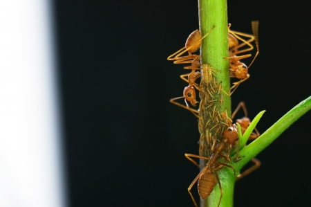 mutualism: weaver ants are taking care aphids on the tree