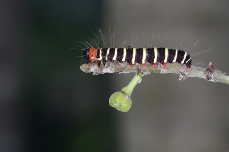 colorful caterpillar is staying on the tropical fig tree